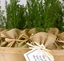 The Greenworld Project Live Evergreen Tree Seedling Favors And Gifts
