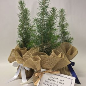 The Greenworld Project Live Evergreen Tree Seedling Favors And Gifts - Christmas Tree Seedlings